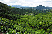 Thumbnail image for Cameron Highland Day Tour